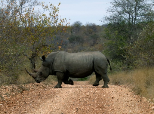 My first wild rhino sighting! And only decent photo.