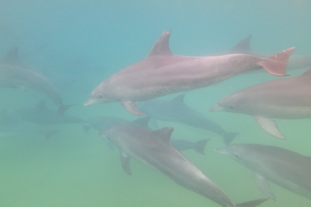 A pod of bottlenose dolphins
