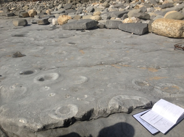Ancient sea floor, a limestone bed with lots of ammonite fossils during the lower Jurassic. Lyme Regis, Dorset.