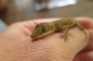 Aww... cos this Anolis lizard is cute than sheep shit.