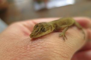 Aww... cos this Anolis lizard is cute than sheep shit.