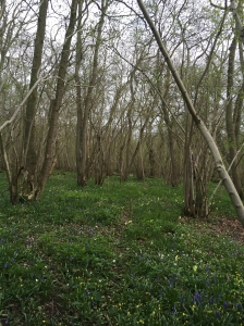 Floor carpeted with bluebells, oxlips and wood anemones :)