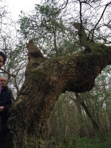 More than 400 years old oak tree