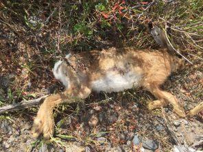 roadkill hare